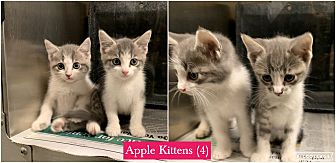 Adopt A Pet :: Apple Kittens (4)  - Henderson, NC