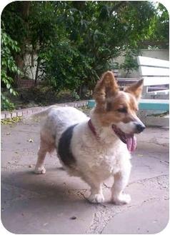 corgi basset hound mix