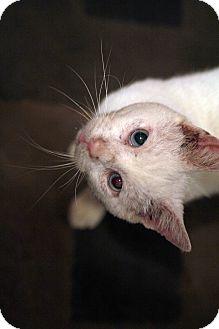 Siamese Cat for adoption in St. Louis, Missouri - Oldman
