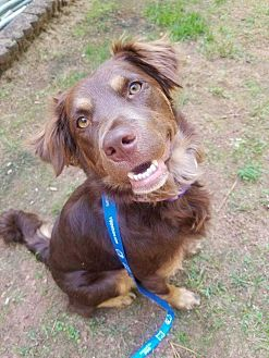 Spaniel (Unknown Type) Mix Dog for adoption in Youngsville, North Carolina - Maisey-Grace