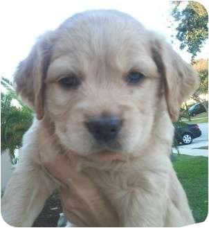 Orlando Fl Goldendoodle Meet Rubio 5f A Pet For Adoption