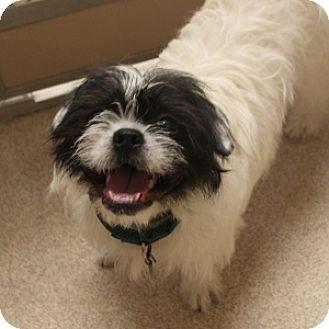 Naperville Il Shih Tzu Meet Hank A Pet For Adoption