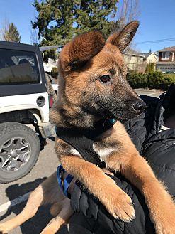 Adopt A Pet :: Rou  - Renton, WA