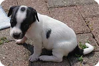 Syracuse Ny Dachshund Meet Target A Pet For Adoption