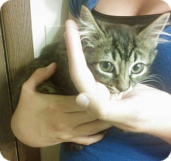 Domestic Mediumhair Kitten for adoption in Olmsted Falls, Ohio - Maddie-COURTESY POST
