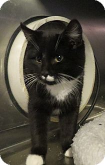 Domestic Shorthair Cat for adoption in Geneseo, Illinois - Newton