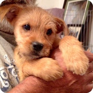 ST LOUIS, MO - Cairn Terrier  Meet Coby a Pet for Adoption