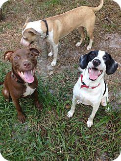 Labrador Retriever/Staffordshire Bull Terrier Mix Dog for adoption in Groveland, Florida - Mercury