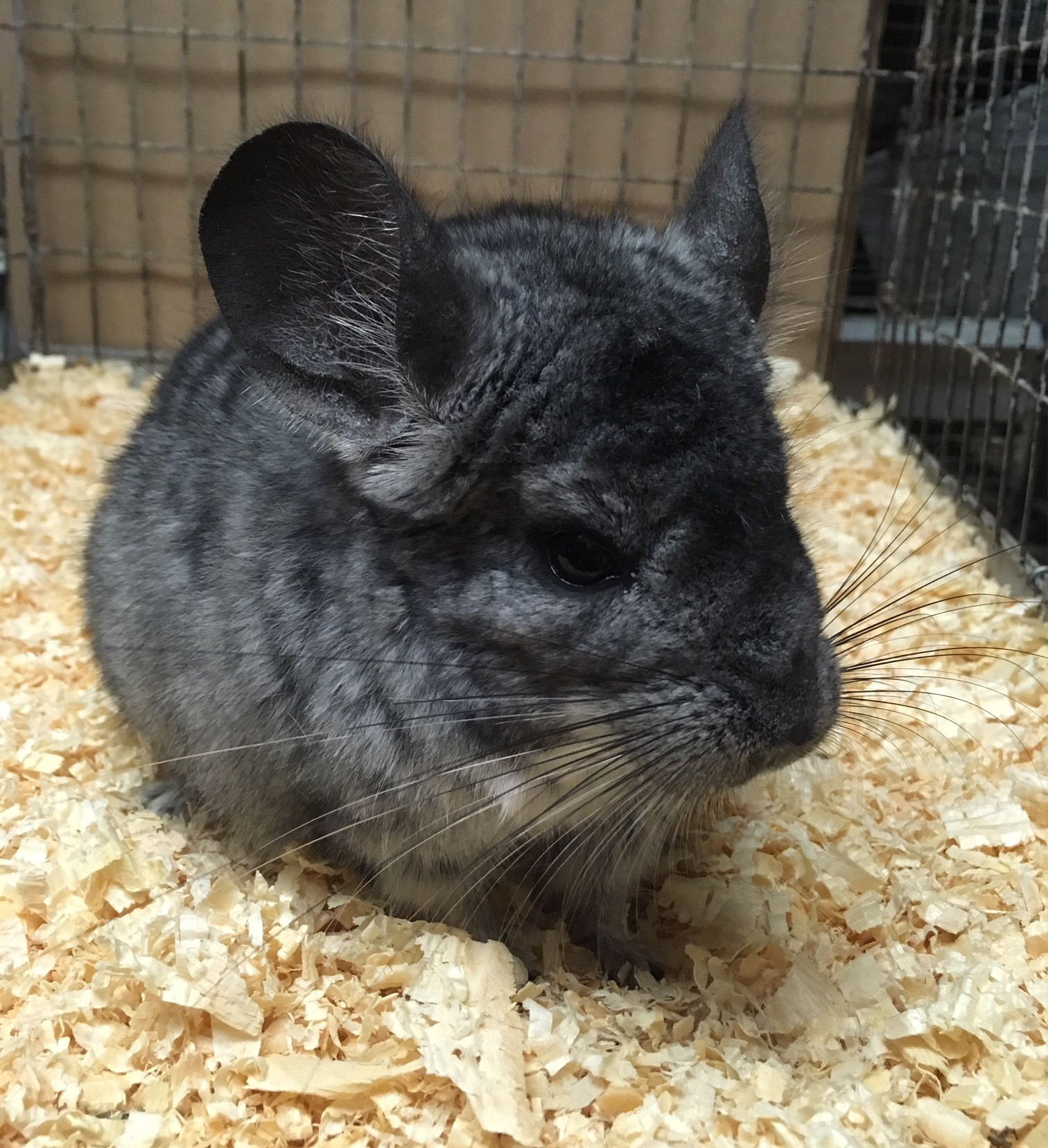 My Name Is Shade.Hammond In Chinchilla Meet Shade A Pet For Adoption