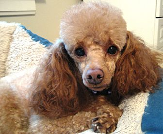 dover ma poodle toy or tea cup meet lyllie mae a pet