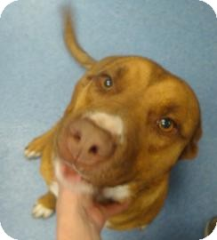 Pit Bull Terrier Mix Dog for adoption in Gainesville, Florida - Miranda