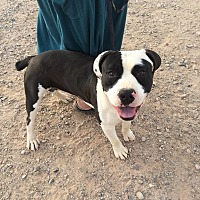 Boxer/Pit Bull Terrier Mix Dog for adoption in Phoenix, Arizona - Beau