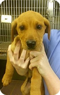 Labrador Retriever Mix Dog for adoption in Media, Pennsylvania - Sanford
