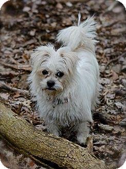 Shih Tzu/Pekingese Mix Puppy for adoption in Hastings, New York - Apple
