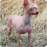 Adopt A Pet :: Suki - Whitewright, TX
