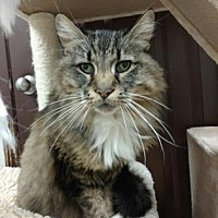 Adopt A Pet :: Pete the Cat - Chicago Heights, IL