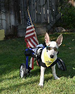 Adopt A Pet :: Rocket  - Bakersfield, CA