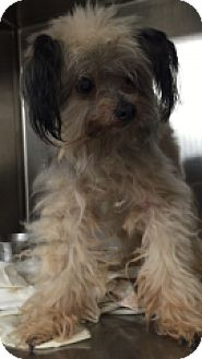 Yorkie, Yorkshire Terrier/Poodle (Miniature) Mix Dog for adoption in Monroe, Michigan - Sampson
