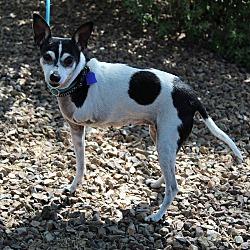 Gilbert, AZ - Rat Terrier  Meet DJ a Pet for Adoption
