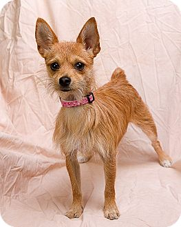 Anna Il Yorkie Yorkshire Terrier Meet Macy A Pet For Adoption