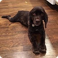 Adopt A Pet :: Andy - Atlanta, GA