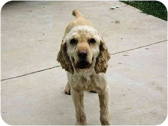 Cocker Spaniel Dog for adoption in Mahwah, New Jersey - Wood