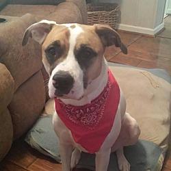 Boxer Puppies for Sale in Marion North Carolina - Adoptapet com