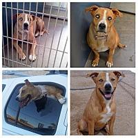 Adopt A Pet :: Frankie Blue Eyes - Phoenix, AZ