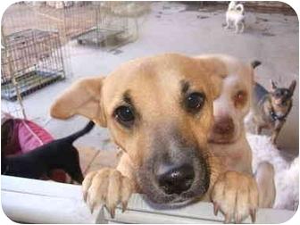 Shepherd (Unknown Type)/Chihuahua Mix Dog for adoption in SCOTTSDALE, Arizona - MOMMA GIRL