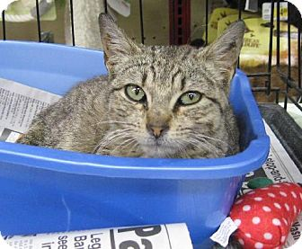 Domestic Mediumhair Cat for adoption in New York, New York - Scout