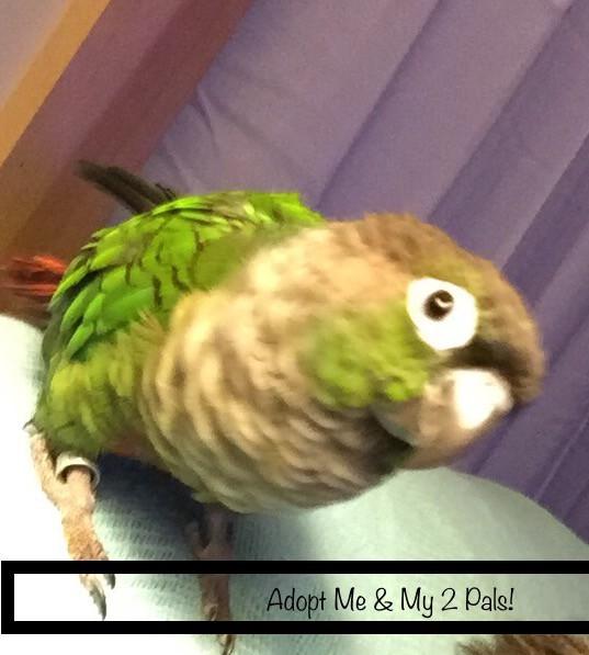 Bennington, VT - Conure  Meet GreenCheek lover a Pet for Adoption