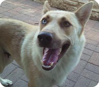German Shepherd Dog/Siberian Husky Mix Dog for adoption in Dripping Springs, Texas - Nova