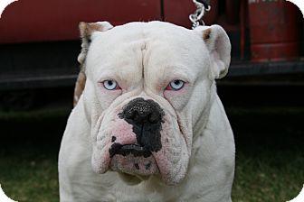 Van Nuys Ca English Bulldog Meet Bono Blue Eyes A Pet For Adoption