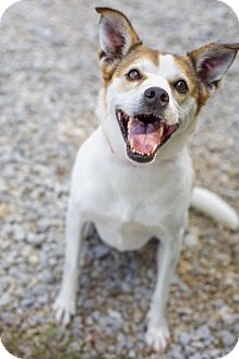 Jack Russell Terrier/Beagle Mix Dog for adoption in Brattleboro, Vermont - Muffy (Senior Discount)