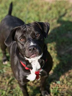 Labrador Retriever Mix Dog for adoption in Hernando, Mississippi - Bella