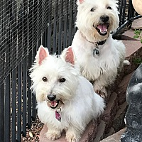 Westie, West Highland White Terrier Puppies for Sale in