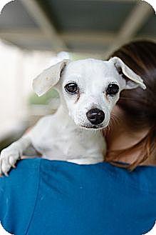 Dachshund/Chihuahua Mix Dog for adoption in Mission Viejo, California - Jaina