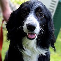 Australian Shepherd Puppies for Sale in Michigan - Adoptapet com