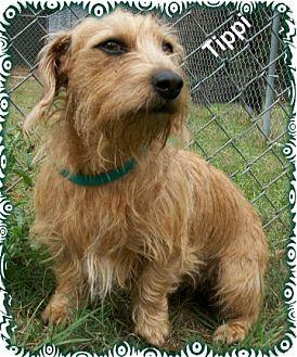 Ozark, AL - Wirehaired Fox Terrier. Meet Tippi a Dog for Adoption.