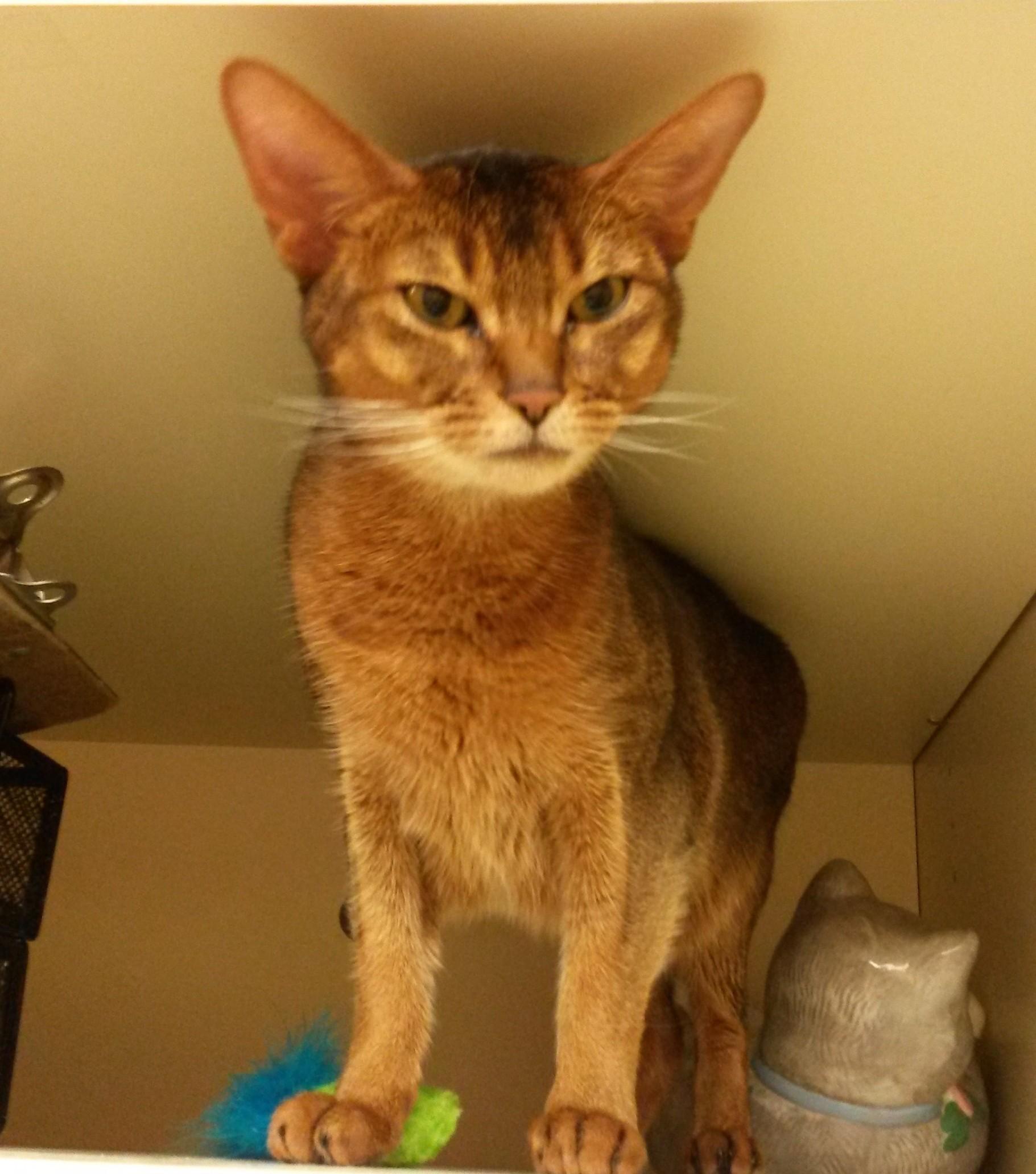 Salem, NH - Egyptian Mau. Meet Keva a Cat for Adoption.