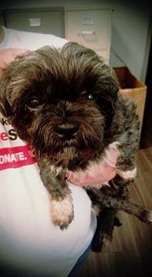 Paducah Ky Shih Tzu Meet Abby A Pet For Adoption
