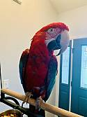 Adopt a Pet :: Kincaid - Indianapolis, IN -  Macaw