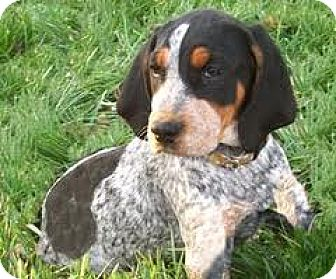Lima Pa Bluetick Coonhound Meet Rusty A Pet For Adoption