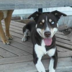 Husky Puppies for Sale in Amarillo Texas - Adoptapet com