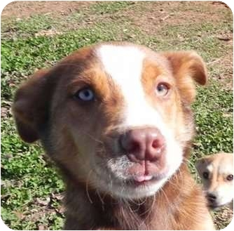 Portland, ME - Australian Cattle Dog  Meet Red Ryder