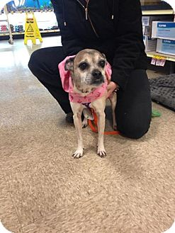Pug/Jack Russell Terrier Mix Dog for adoption in Trenton, New Jersey - Juno