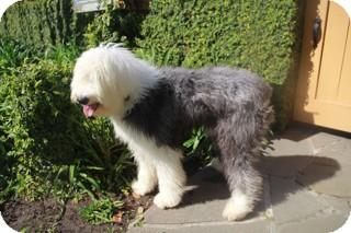 norwalk ct old english sheepdog meet valentina a dog for adoption