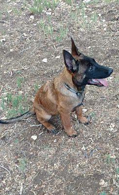 Albuquerque, NM - Belgian Malinois  Meet Bren a Pet for