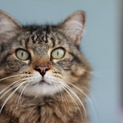 Maine Coon Rescue - FL in Tampa, Florida