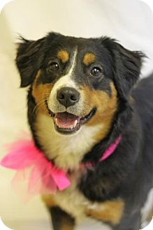 Australian Shepherd/English Shepherd Mix Dog for adoption in Hagerstown, Maryland - Lola